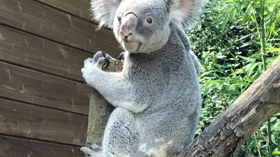 Im Zoo in Dresden leben derzeit zwei Koalas. Foto: Rocco Reichel