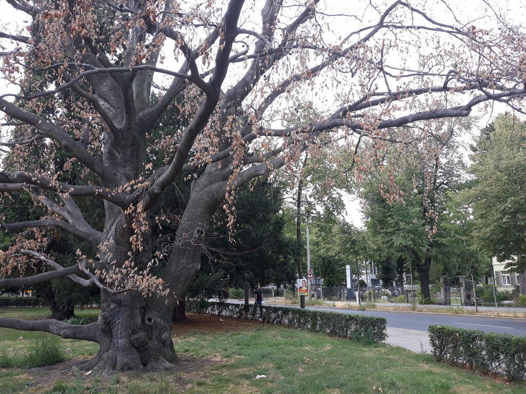 bäume für trockenheit