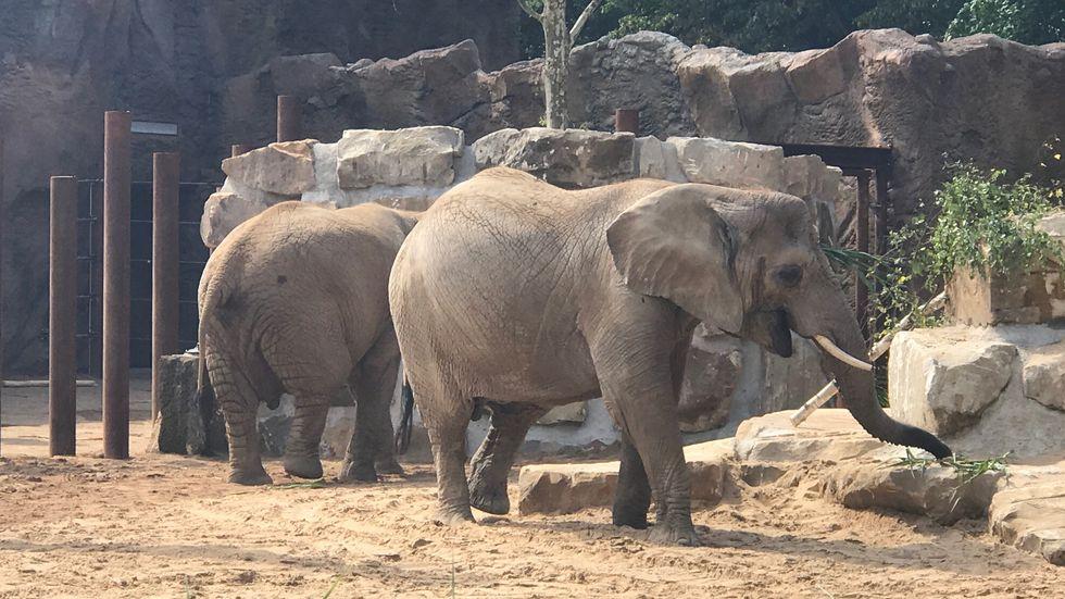 Die Elefanten im Dresdner Zoo können ab sofort ihre neue Aussenanlage nutzen. Foto: Rocco Reichel